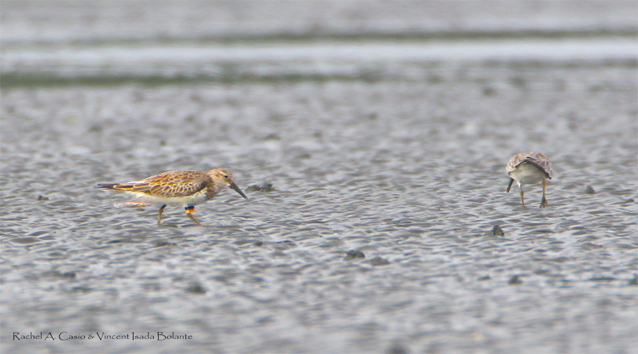 Great knot with a leg flag spotted in Capiz wetland