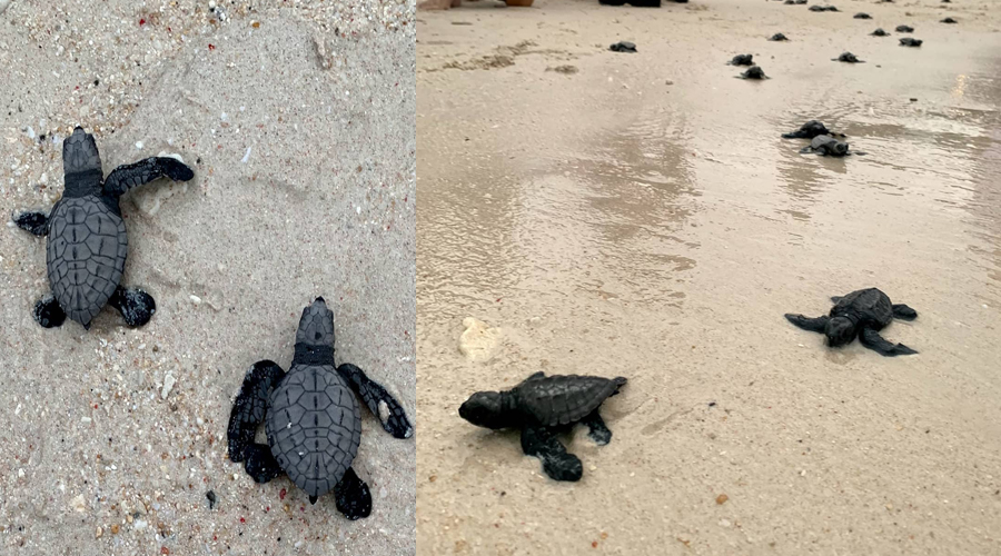 Sea turtle hatchlings dotted the white sandy shores of the world's best beach