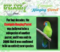 Camiguin Hanging Parrot